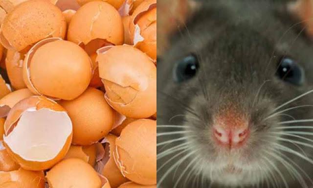 Cara Mudah Mengusir Tikus, Lipas Dan Semut Dengan Kulit Telur