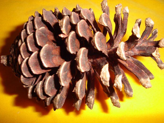nanas batu, manfaat nanas batu, khasiat nanas batu, petua nanas batu, resepi nanas batu, beli nanas batu, jual nanas batu