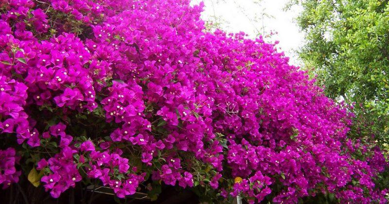 pokok bunga kertas, tip tanam pokok bunga, tanam pokok bunga kertas, bunga kertas berbunga, bunga kertas berbunga lebat, petua tanam pokok bunga kertas