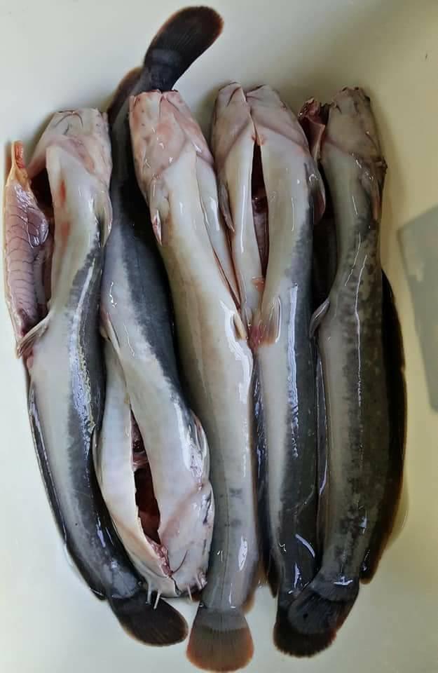 cara siang ikan, cara siang ikan keli, cara siang ikan keli supaya tak hanyir, ikan keli hanyir, ikan keli berbau, ikan keli sedap, cara masak ikan keli