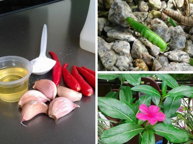 penjagaan pokok dari serangga perosak, racun serangga perosak, homemade semburan serangga perosak, serangga perosak pokok
