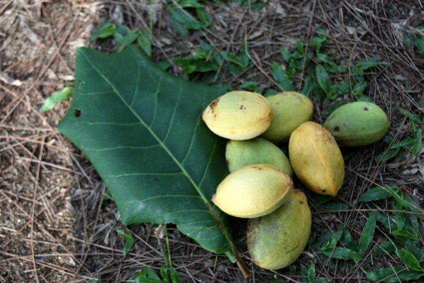 kelebihan pokok ketapang, manfaat pokok ketabang, khasiat daun ketapang, kelebihan daun ketapang, petua daun ketapang, daun ketapang