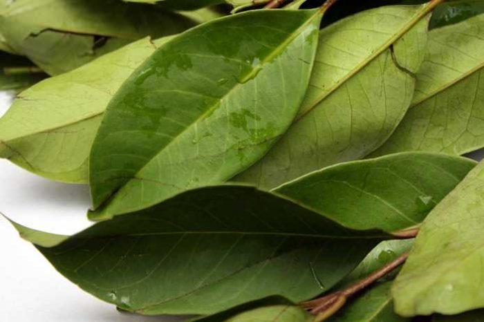 manfaat daun salam, khasiat daun salam, kegunaan daun salam, daun salam untuk masakan, daun salam untuk kesihatan, daun salam untuk gout, daun salam untuk turunkan kolesterol