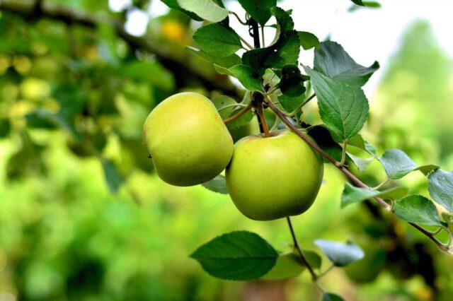 epal hijau
