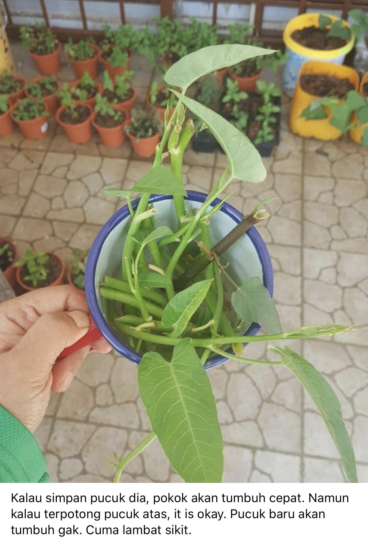 tanam sayur kangkung