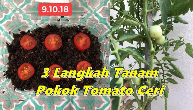 Mudahnya Tanam Pokok Tomato Ceri Hanya 3 Langkah Jer, 4 Bulan Dah Boleh Petik!