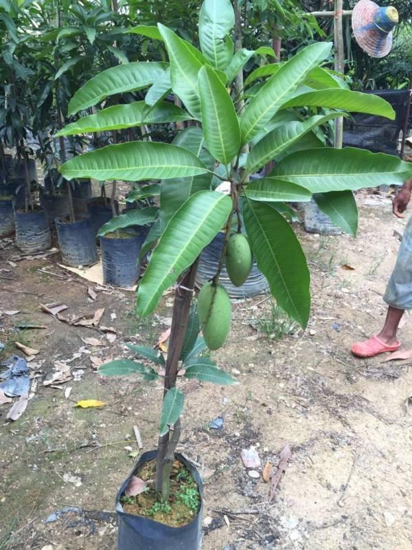 tanam pokok mangga