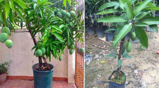 Cara Betul Tanam Pokok Mangga Dalam Pasu Supaya Dapat Hasil Yang Memuaskan!