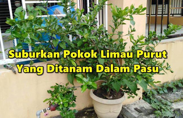 Tip Untuk Suburkan Pokok Limau Purut Yang Ditanam Dalam Pasu