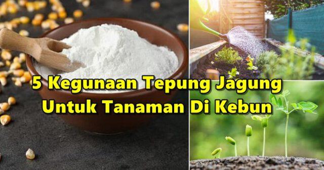 Inilah 5 Kegunaan Tepung Jagung Untuk Tanaman Di Kebun Selain Bantu Halau Semut!
