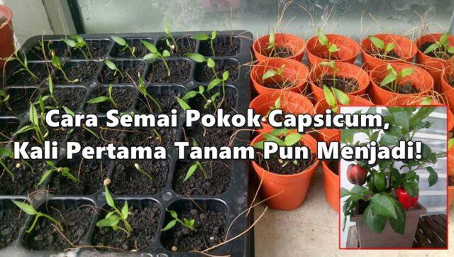 Cara Semai Pokok Capsicum, Kali Pertama Tanam Pun Menjadi Kalau Ikut Tip Ni!