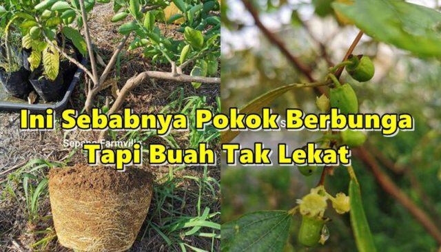 Ini Sebabnya Pokok Berbunga Tapi Buah Tak Lekat, Boleh Punca Pokok Mandul!