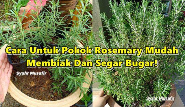 Ini Cara Untuk Pokok Rosemary Mudah Membiak Dan Segar Bugar!
