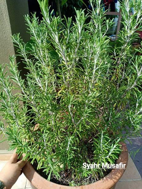Pokok Rosemary