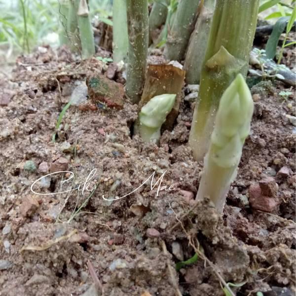 Tanam Sendiri Asparagus